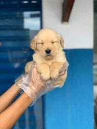 Título do anúncio: Golden Retriever com suporte veterinário gratuito (11) 2670-7784