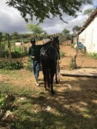 Vendo égua preta mansa de sela