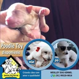 Lindos filhotes disponíveis de poodle toy
