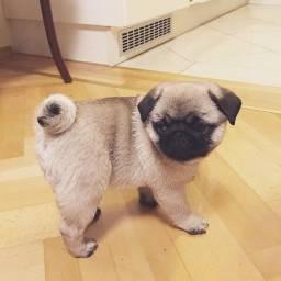 Filhotes de Pug
