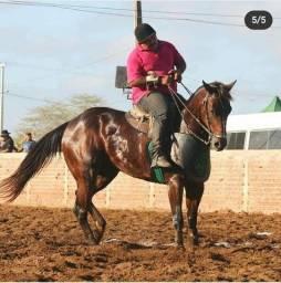 Cavalo de esteira pontuado na ABQM