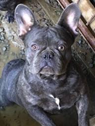 Bulldog Francês macho blue 10 meses