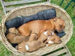 Título do anúncio: Venda de filhotes de Staffordshire Bull Terrier