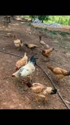 Vendo galinhas caipiras
