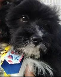 Lhasa apso mix poodle