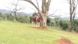 Vendo Cavalo Penty Horse, 3 anos, PO, Recém domado, Cuiudo