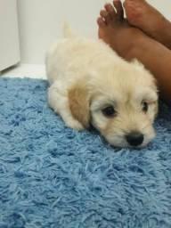 Vendo filhotes de cachorro poodle n1