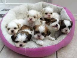 Shih Tzu filhotes