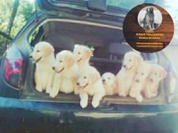 Filhotes de Golden Retriever, Pedigree, Liberados em Novembro