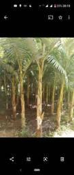 Vendo 3 mil pés de palmeiras real