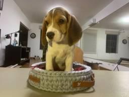 Abaixei o preço- Legítimos Beagles Machos