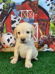 Labrador com garantia de saúde