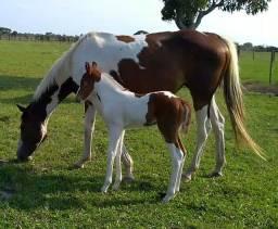 Égua Paint Horse PO parida de fêmea