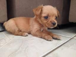 Filhote Macho de Pinscher com Chihuahua