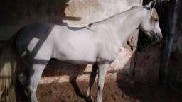 Cavalo mangalarga  machador  valor 9000,00