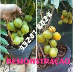 Vdo. Mudas mini frutíferas somente de Cajamanga. Leia o anúncio!