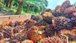 Vende-se um projeto de DENDÊ 20 alqueires em Tailândia-Pará*