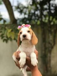 Fêmeas filhotes de beagle 13 polegadas com garantias