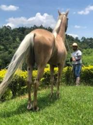 Vendo cavalo BAIO AMARILHO  marcha PICADA de (PISTA)