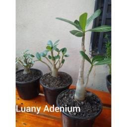 Sementes Rosa do Deserto Arabicum kit 5 semente