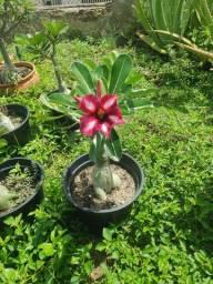 Rosa do Deserto Encherto BM-20