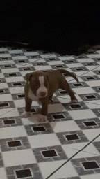 Vendo filhote de American Pitibull Terrier