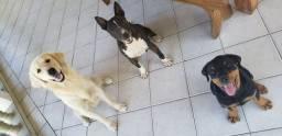 Doação Bull Terrier fêmea