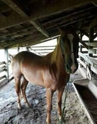 Cavalo quarto de milha (QM)