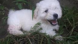 Vendo filhote de poodle toy branco r$250,00
