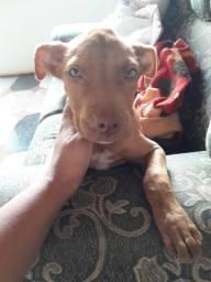 Linda fêmea filhote Pitbull 3 meses