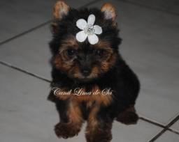 Yorkshire Terrier com pedigree cbkc