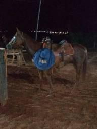 Cavalo iniciado laço cabeça