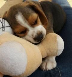 13 Polegadas>> Beagle Filhote com Pedigree & Garantia de Saúde