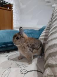 Mini coelho Netherland Dwarf LINHAGEM IMPORTADA