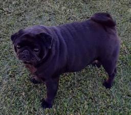 Pug Black adulta fêmea