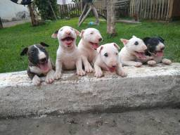 Filhotes de Bull Terrier Inglês