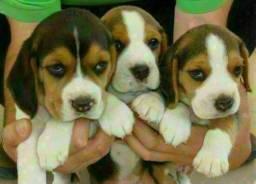 13 Polegadas Beagle Filhotes Recibo Garantia de saúde Pedigree