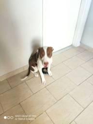 Cão Pit bull