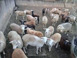 Vendo lote de ovelhas e borregos R$ 9,50 o quilo vivo.