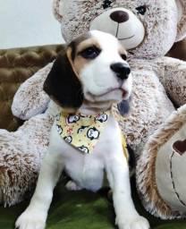 Beagle Filhotes pronto-entrega