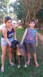 Filhotes de DOG ALEMÃO