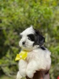 Filhotes belos e doces.Lhasa Apso Pedigree na Hora