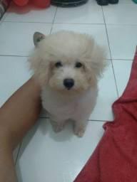 Poodle fêmea n°1