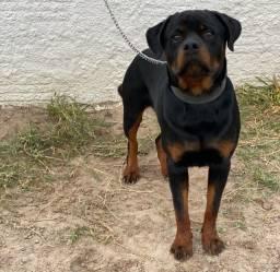 Rottweiler Puro Filhote 1 ano e 4 meses com documento