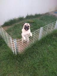 Cão Raça PUG