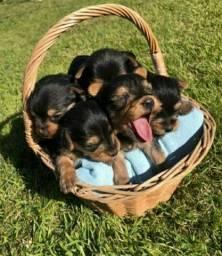 Machinho Yorkshire Terrier Micro Filhote Pedigree + Vacinado + Garantia de saúde