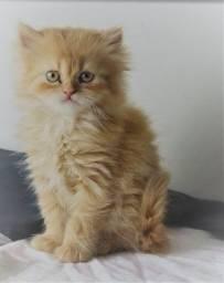 Gato Persa - Vende-se lindo filhotes Persas