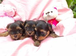 Lindas femeas yorkshire terrier