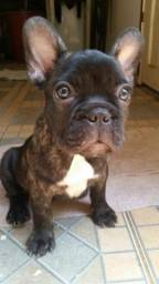 Dog francês
