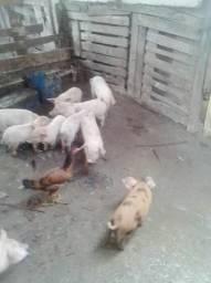 Vendendo porco